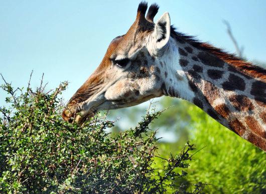 żyrafa widziana w Parku Krugera